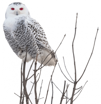 Snow Owl Red Eyes Perch Small